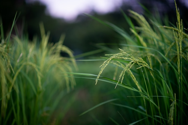 ジャスミン米の穂は緑色で美しい。あなたのビジネスのための写真