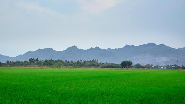 ジャスミンの田んぼ、タイの乾季