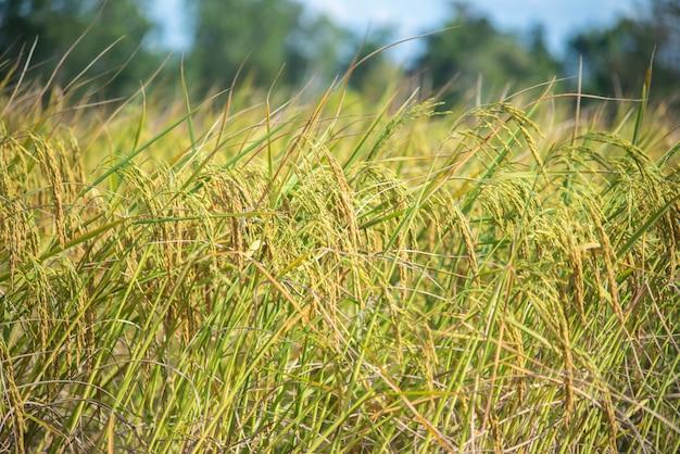 Jasmine rice in the harvest season.