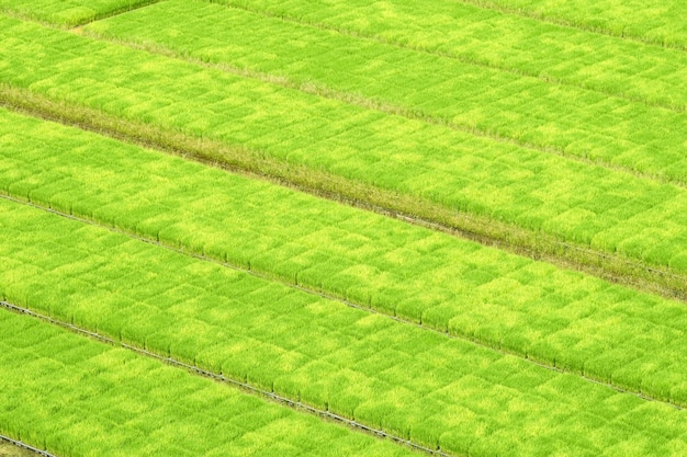 Jasmine rice seedlings are in the nursery. before you go to the farm.