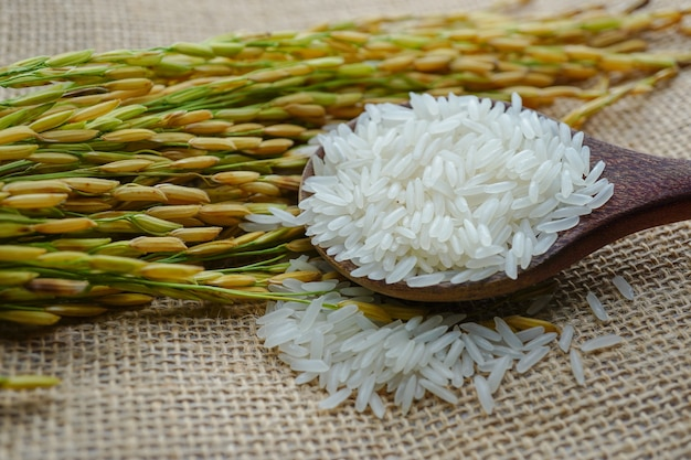 Jasmine white rice with gold grain from agriculture farm
