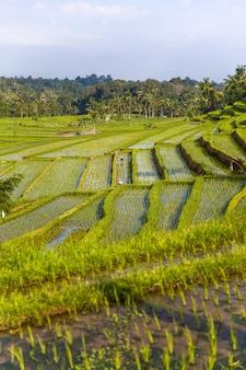 Рисовые поля jatiluwih на юго-востоке бали