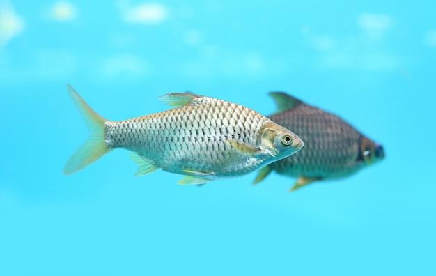 Java barb fish (barbonymus gonionotus) swimming in aquarium.
