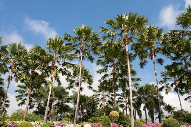 식물원의 자바 야자 또는 livistona rotudifolia