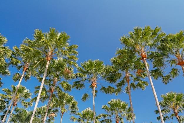 Javaのやしまたはlivistona rotundifolia