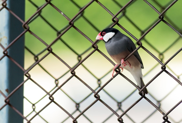 Явский воробей стоит на стальной забор