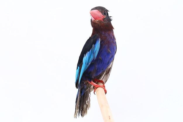 ジャワカワセミ白で隔離される青い腹のカワセミ