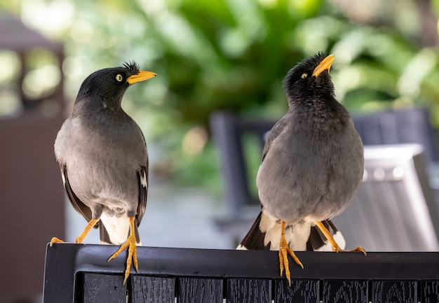 Javan mynah, acridotheres javanicus, two birds visiting an outdoor restaurant, while showing their mating rituals.
