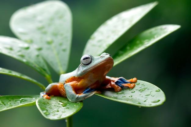 Javan tree frog front on green leaves
