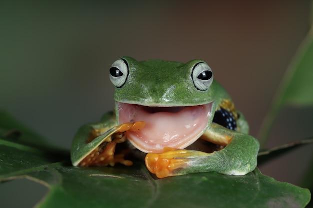 녹색 잎에 자바 나무 개구리 전면 보기