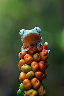 오렌지 과일에 자바 나무 개구리 전면 보기