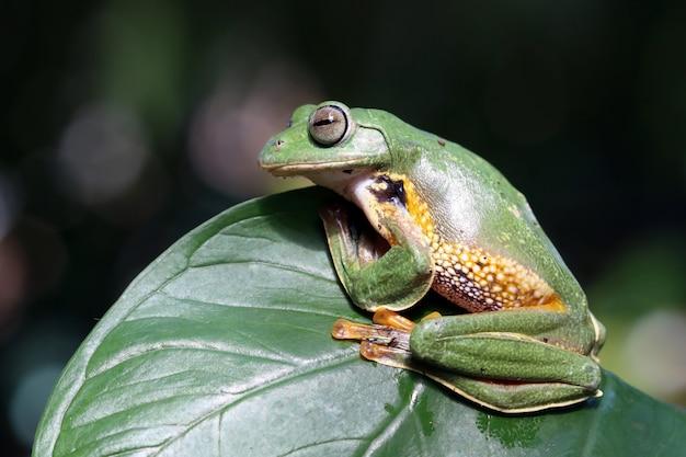 Javan tree frog on a leaf