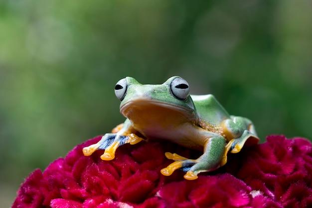 赤い花にジャワの木のカエル