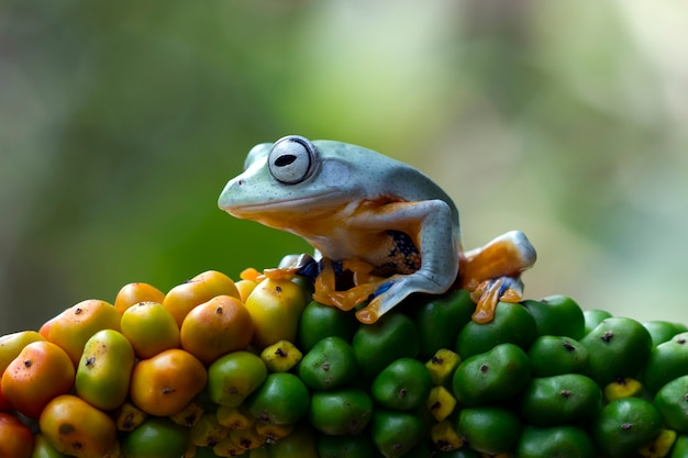 黄色い果物のジャワの木のカエル