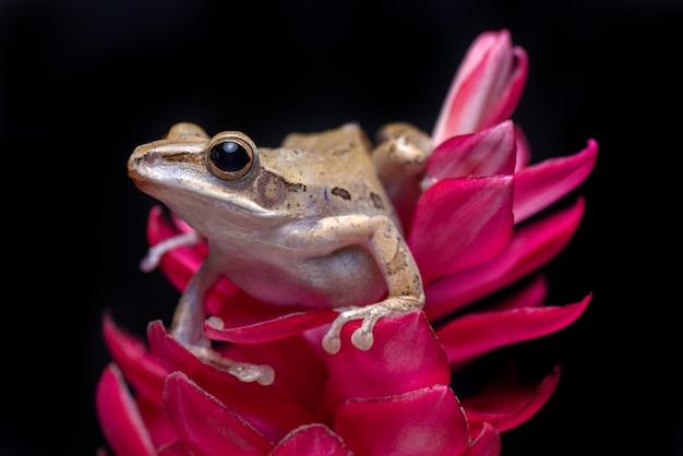 Javan tree frog perched on red flower