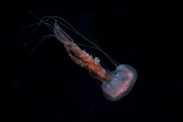 Jelly fish on black isolated background
