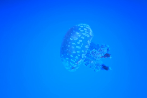 Jellyfish cup or aurelia fish in sea on blue background.