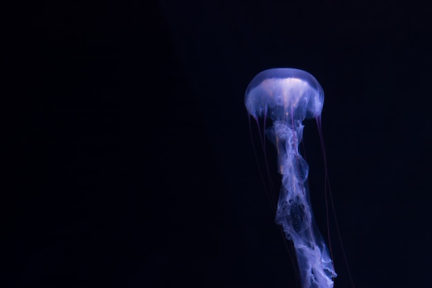 Jellyfish floating on a black background