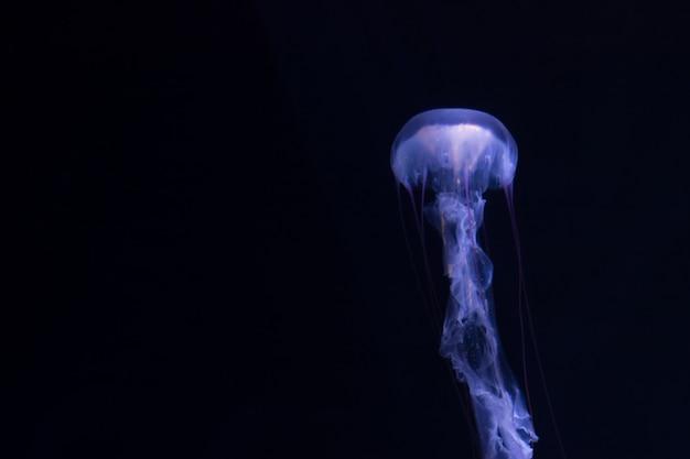 黒背景に浮かぶクラゲ