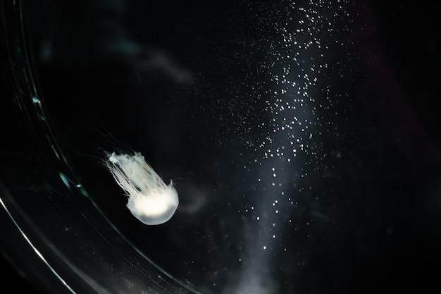 Jellyfish in water tank, black background.