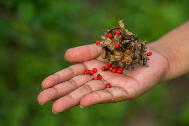 Вручите показывать крупный план стручка и семян jequirity также известных как горох розария на зеленой предпосылке.
