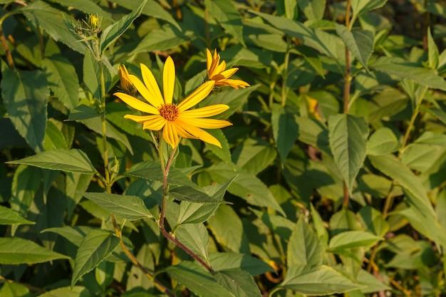 庭に黄色い花を咲かせるキクイモ