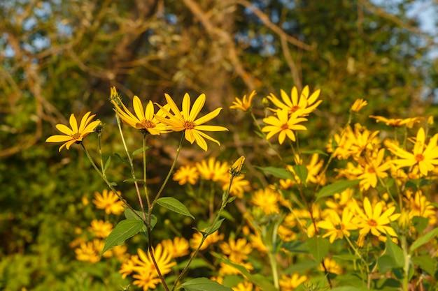 牧草地に黄色い花を咲かせるキクイモ