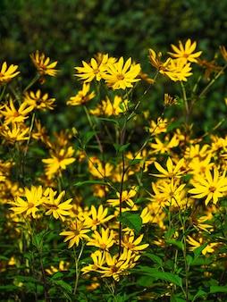 エルサレムアーティチョーク(アースアップル)の花、庭のトピナンブールの花。