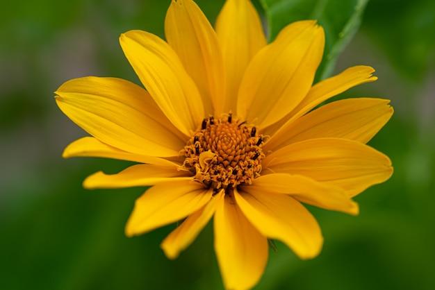 예루살렘 아티초크 꽃 녹색 배경 근접 촬영에 노란색 예루살렘 아티초크 꽃