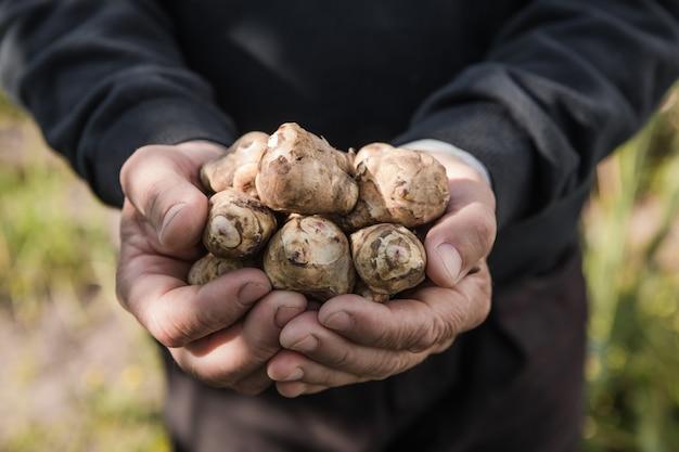 Jerusalem artichoke tubers in hands. freshly harvested roots of helianthus tuberosus, also known as sunroot, sunchoke, earth apple, topinambur or lambchoke. used as a root vegetable.