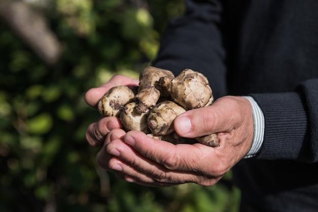 手にエルサレムアーティチョーク塊茎。キクイモ、キクイモ、キクイモ、トピナンバー、ラムチョークとしても知られる、収穫したてのキクイモの根。根菜として使用されます。