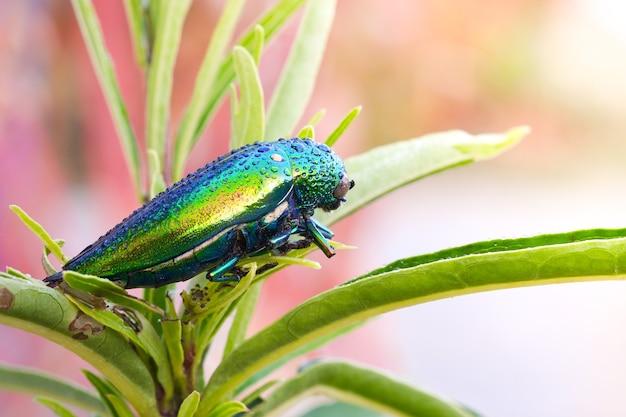 보석 딱정벌레 buprestidae 물방울은 딱정벌레의 가족입니다