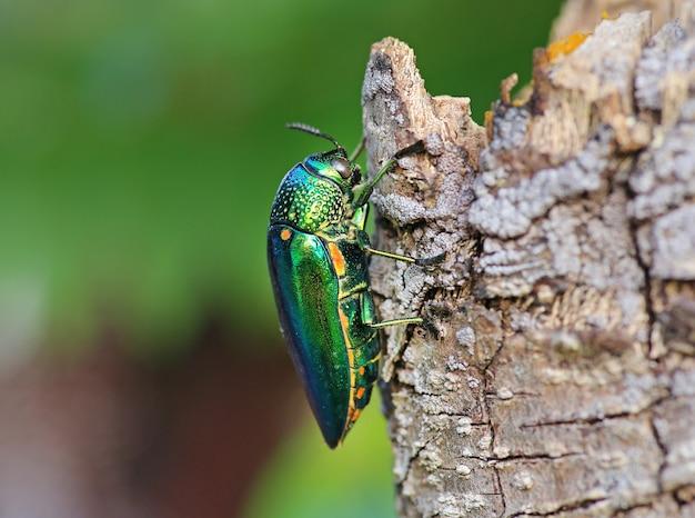 Jewel beetle on tree.