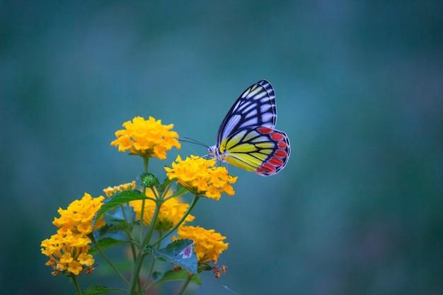 柔らかい背景の花の植物のカザリシロチョウまたはカザリシロチョウ
