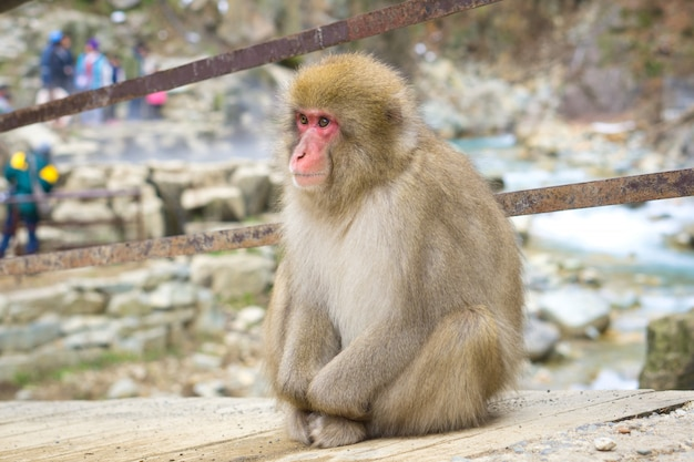 지고 쿠 다니 원숭이 공원. 천연 온천에 대한 독특한 경험