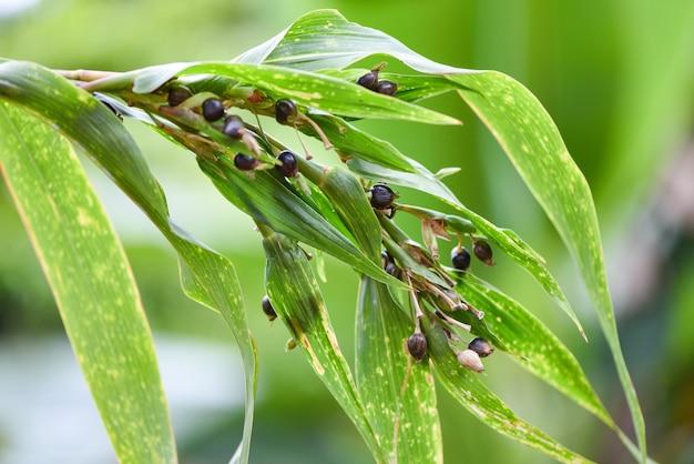 Семя слез иова на дереве, coix lachryma jobi - перловая крупа китайская coixseed