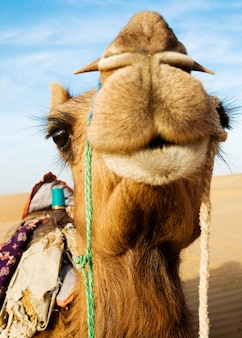 Johnie the camel in the thar desert, rajasthan, india