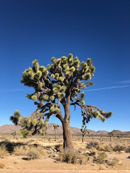 Дерево джошуа в национальном парке джошуа-три, сша
