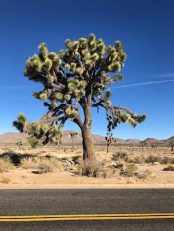 アメリカ合衆国、ジョシュアツリー国立公園のジョシュアツリー