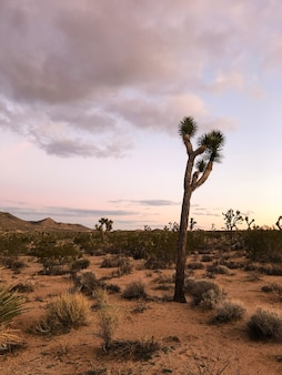 Joshua tree in the joshua tree national park, usa