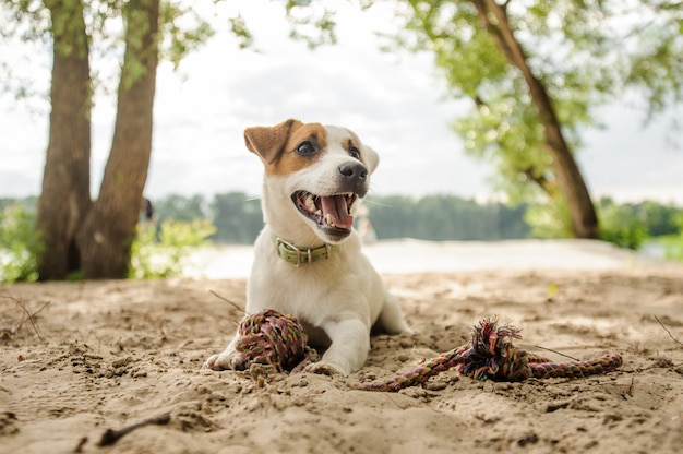 Joyful and cute jack russell terrier puppy playing with a rope on the beach
