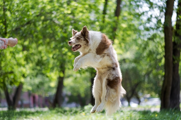 Радостная собака прыгает на зеленом лугу. белая собака с коричневыми пятнами в прыжке. дрессировка домашних животных.