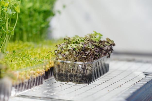 온실에 있는 마이크로 그린의 즙이 많고 어린 새싹. 성장하는 씨앗. 건강한 식생활.