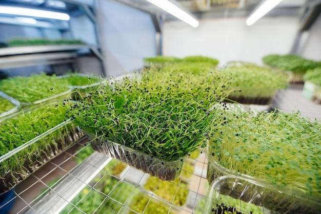 Сочные и молодые ростки микрозелени в теплице. выращивание семян. здоровое питание.