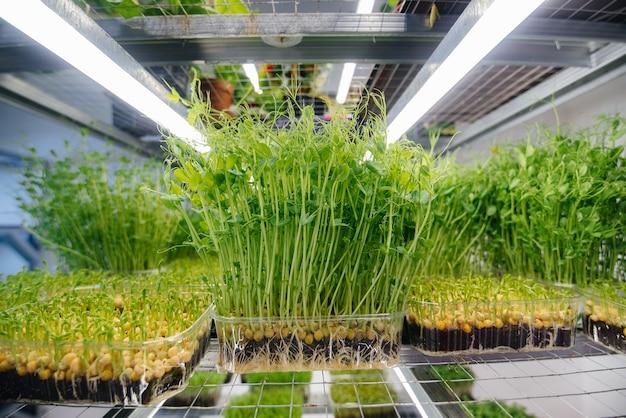 Сочные и молодые ростки микрозелени в теплице.