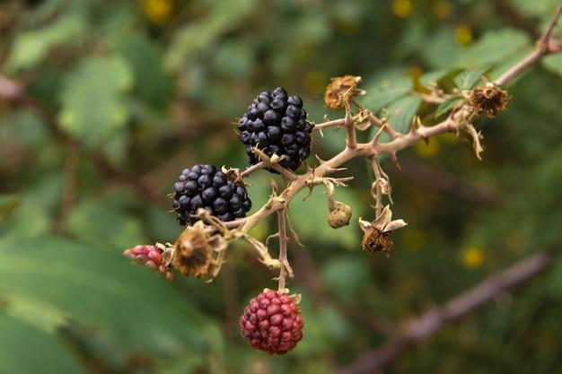 나뭇 가지에서 자라는 육즙이 풍부한 블랙 베리