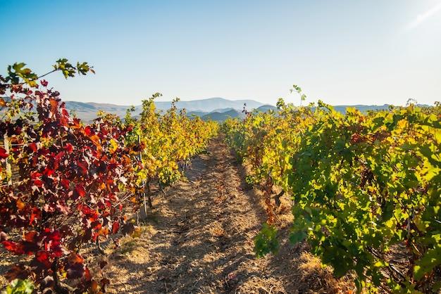 晴れた日の秋のジューシーで明るく美しいブドウ園