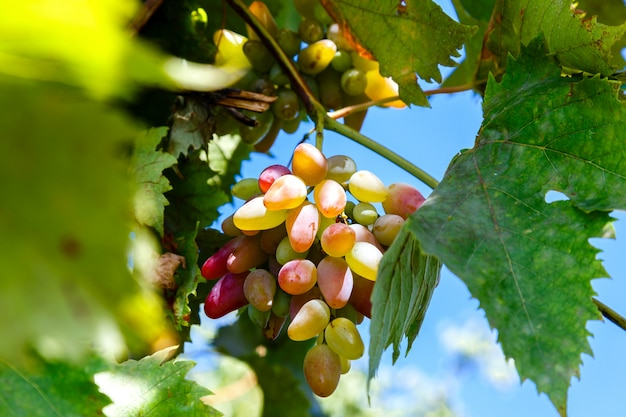 Juicy bunch of ripe grapes in the vineyard on a sunny day
