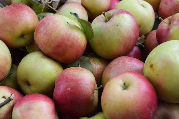 Juicy delicious apples in the box.autumn harvest.