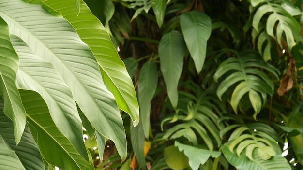 육즙이 이국적인 열대 몬스 테라 잎. 무성한 단풍, 낙원 정글의 녹지, 야생 열대 우림.